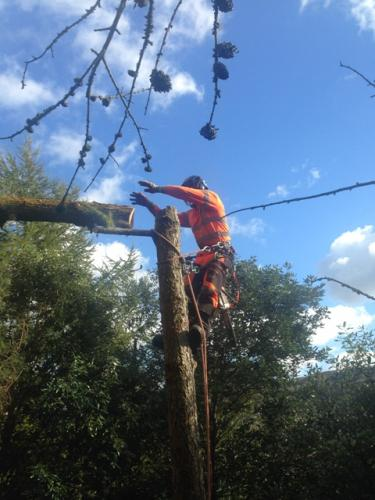 Larch removal
